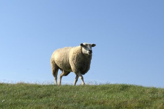Mouton sur la digue